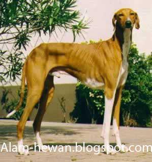 Jenis Jenis Anjing di dunia( ras Anjing didunia ) Bagia
