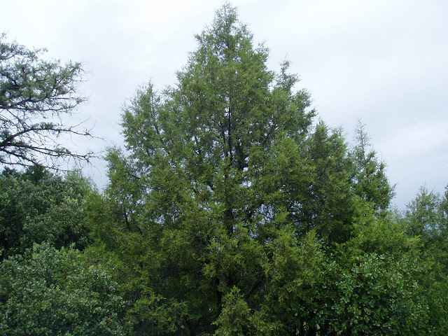 SABINA: Juniperus thurifera