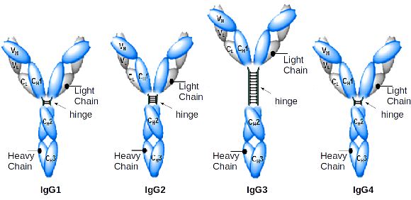 Antibody IgG1, IgG2, IgG3, IgG4 structure and diagram - detailing immunoglobulin domains plus hinge regions related to Yervoy, Keytruda, Opdivo anti-CTLA-4 and anti-PD-1 antibodies