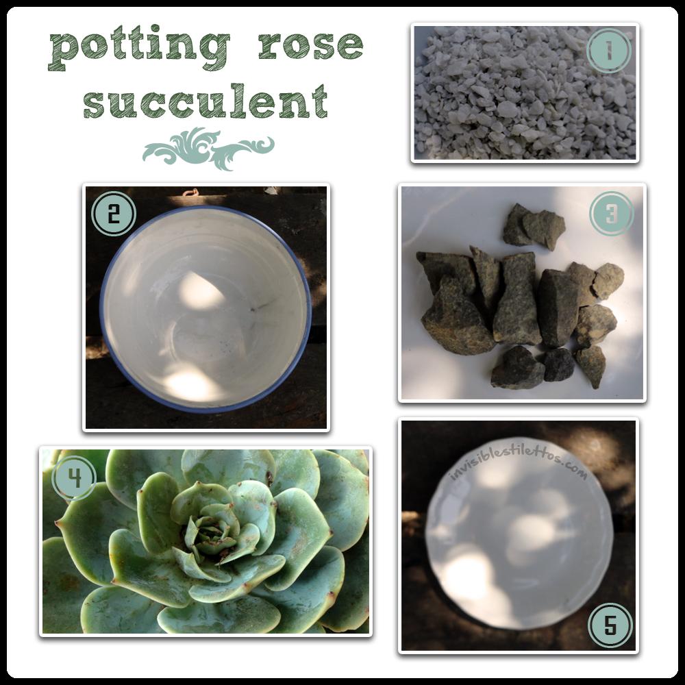 Potting Rose Succulent
