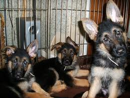 3 German Shepherds in a British pub