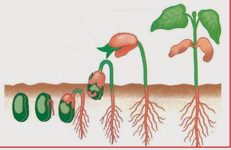 faktor-tumbuh-tanaman-hormonik-nasa