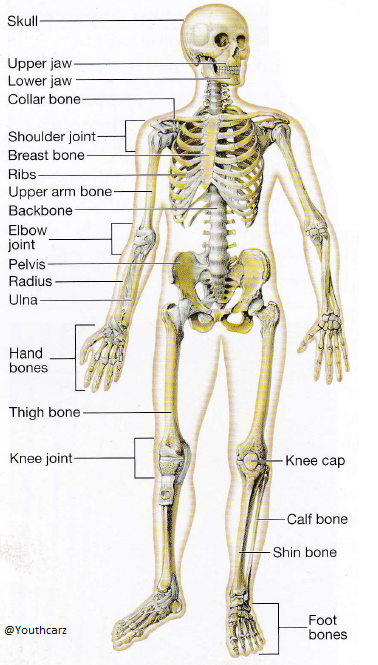 human skeleton project – kefei04, Skeleton