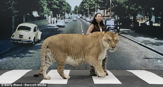1001Archives: World's Biggest wild Cat ever