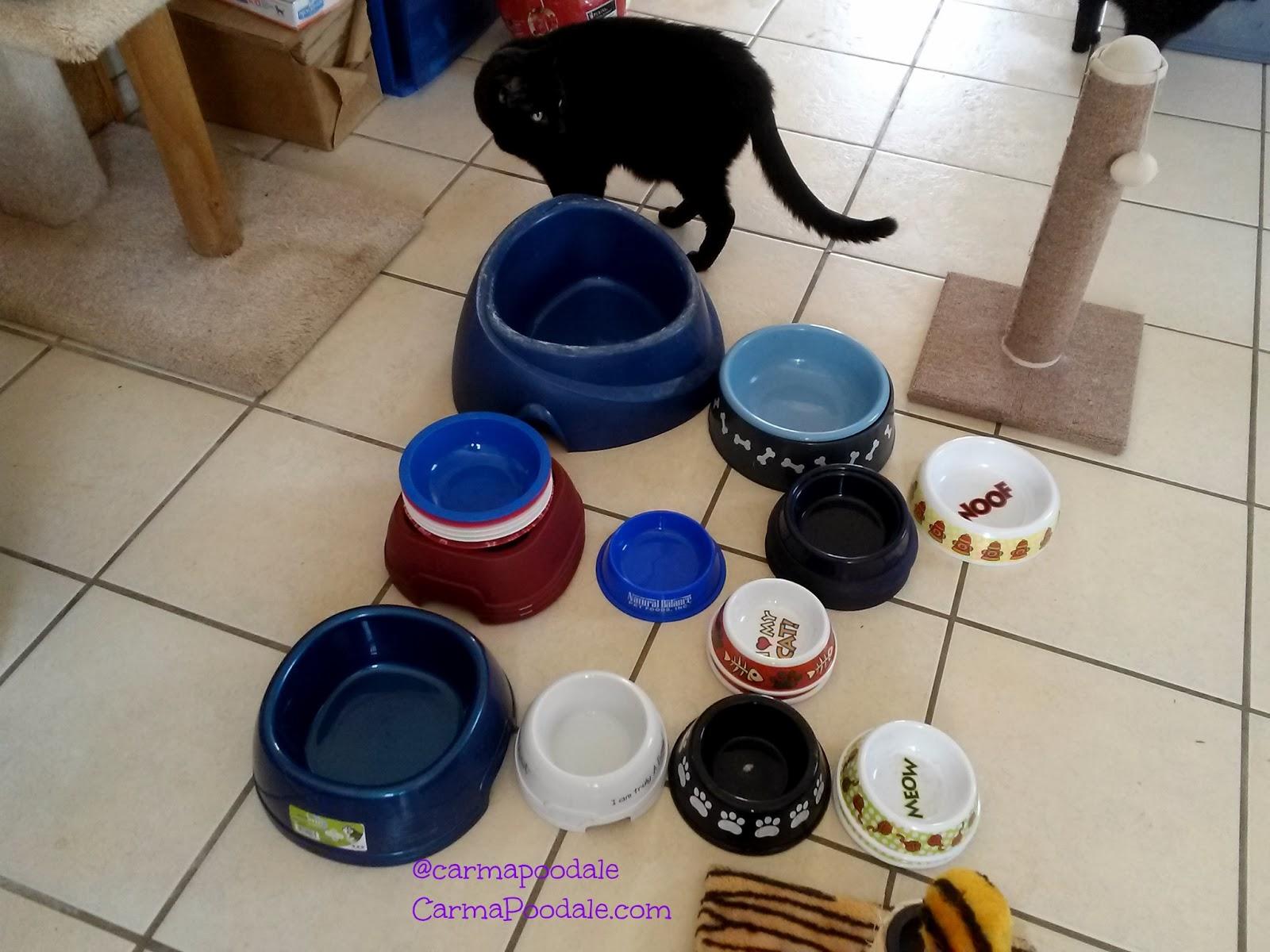 cat walking around bowl