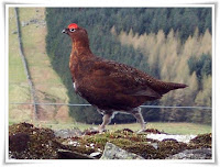 Grouse Animal Pictures