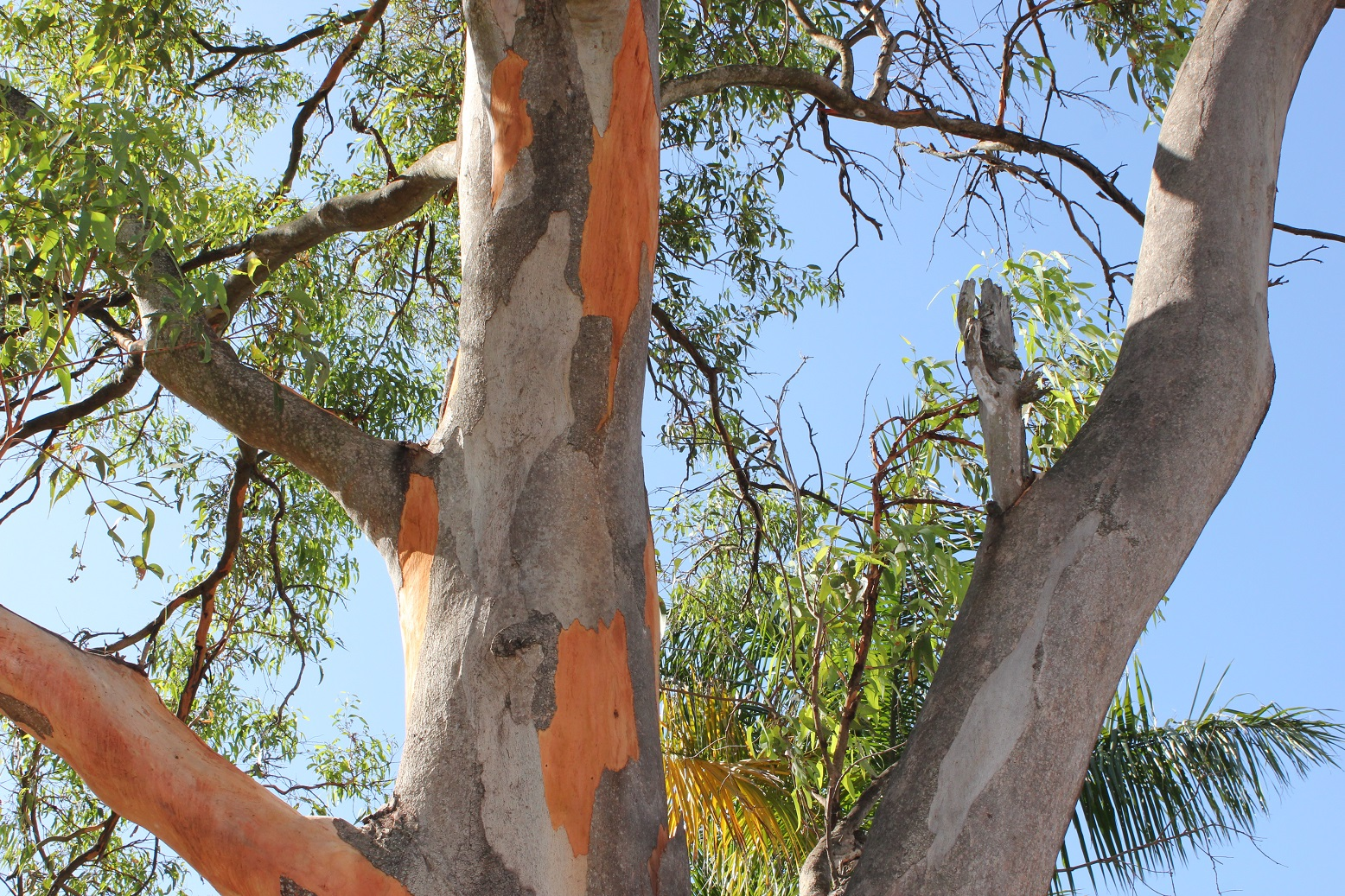 brisbane backyard naturalist gum trees at my place