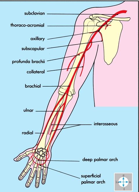 Anatomía.: 2013