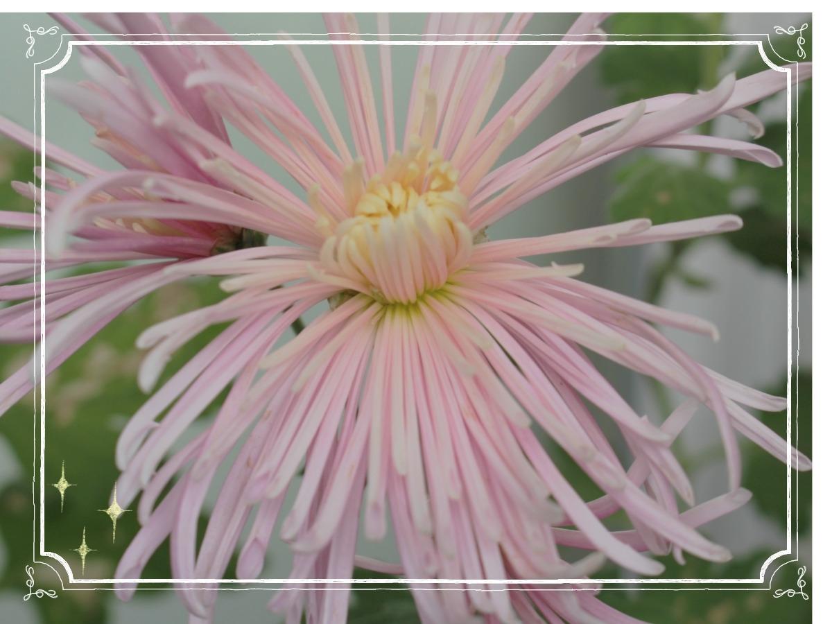 ✿ Fleur du mois : Chrysanthème