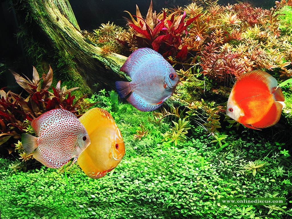 discus fish quality discus fish like clean water and a