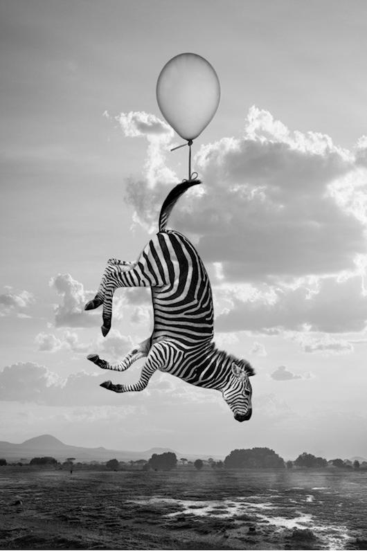 cebra volando en globo sujeto por la cola