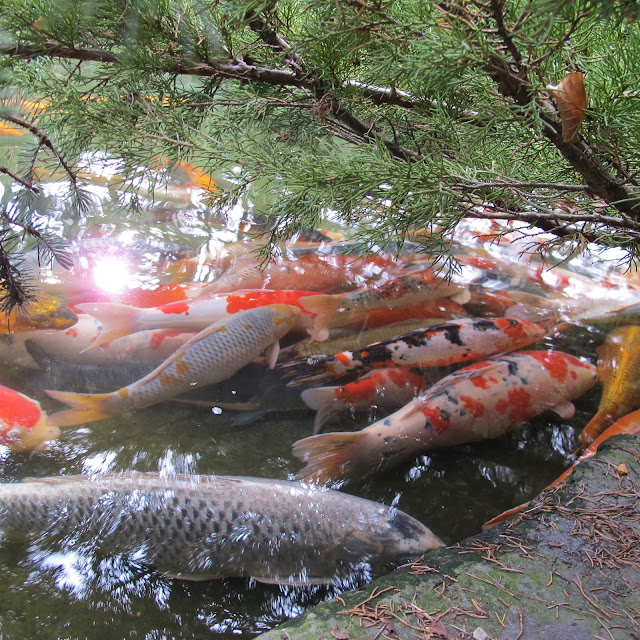 Pushy galore japanese koi company for Koi carp henlow