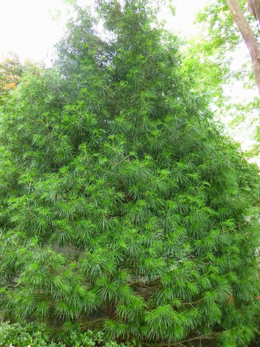 Sciadopitys verticillata, Japanese Umbrella Pine