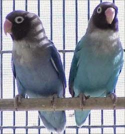Foto Burung Lovebird Lutino Jantan