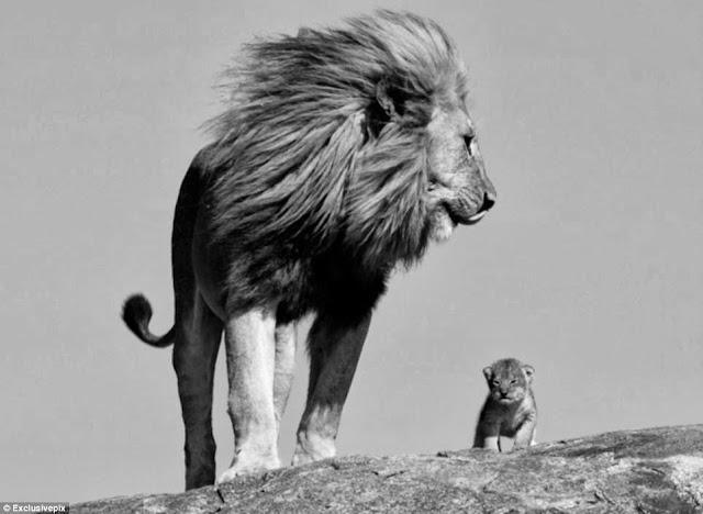 лев со своим сыном очень красивое фото