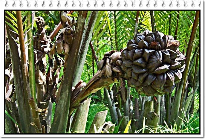 buah nipah kaya antioksidan