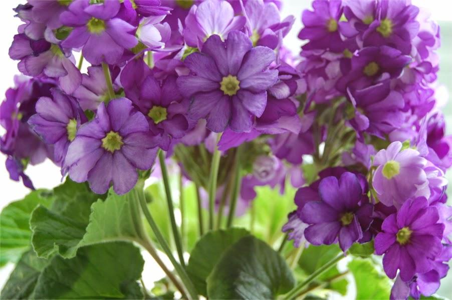 Prímula en flor