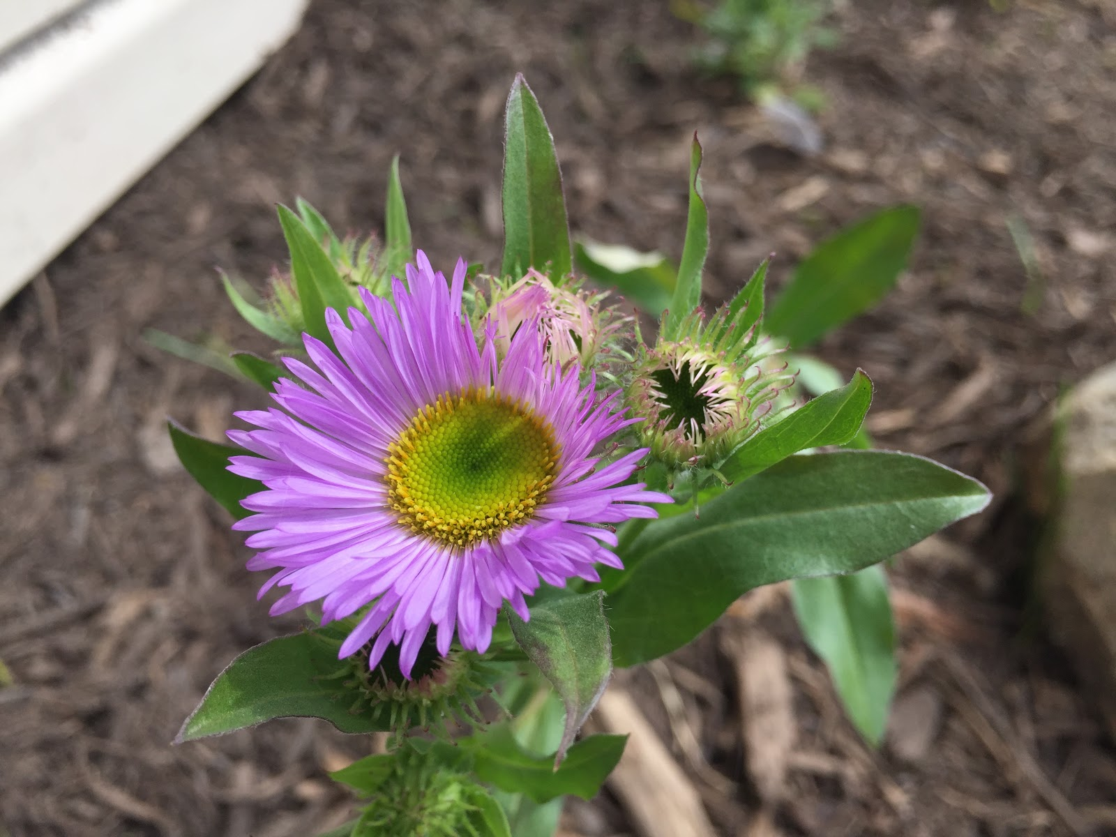 Erigeron speciosus 'Darkest of All' blooming