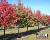 Autumn Blaze Pear