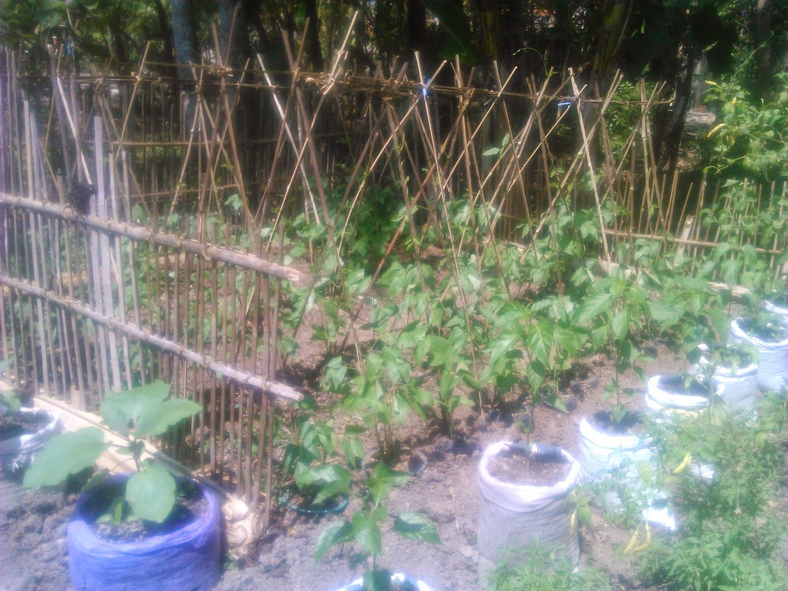 Cara Budidaya Kacang Tanah di Pekarangan Halaman Rumah dengan Polybag