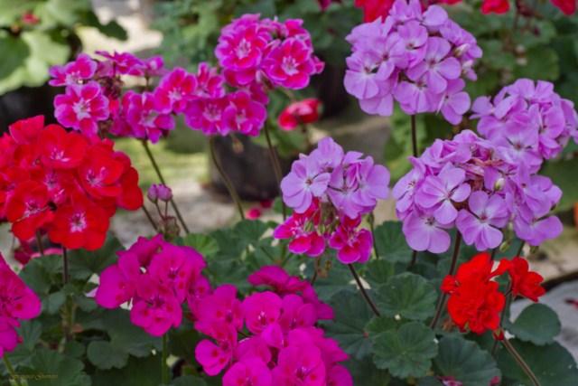 Asociaci n virgen del rosario gitanillas y marbellones for Plantas en macetas para exterior fotos