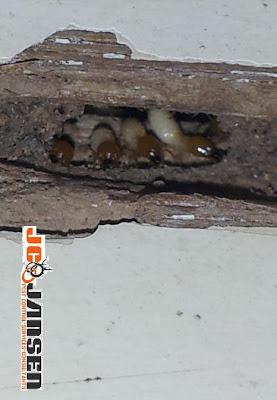JC Jansen Pest control termite