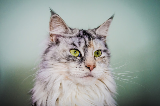 Ziva the Maine Coon by Nicholas Erwin from flickr (CC-NC-ND)