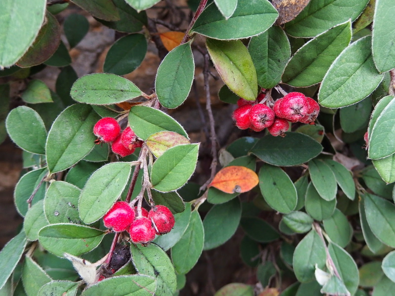 Close-up of the cotoneaster showing leaves and berries