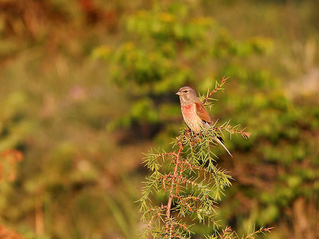 Linnet photography in Bulgaria