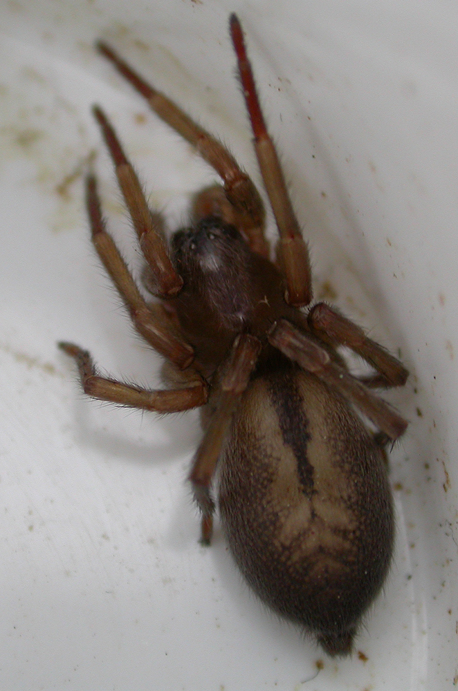 Arachnerds silk cell spiders clubiona sp for Extra mural cemetery brighton