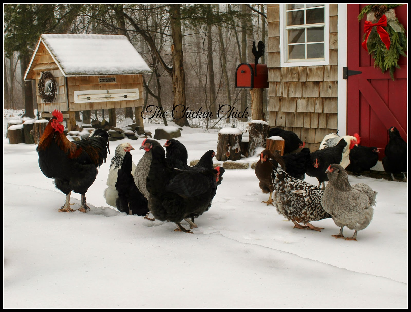 Backyard chickens in the snow.