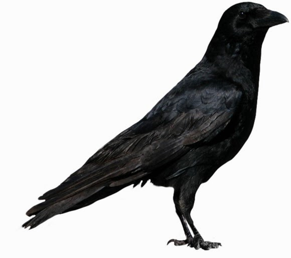 Black Crows Stock Photo PNG