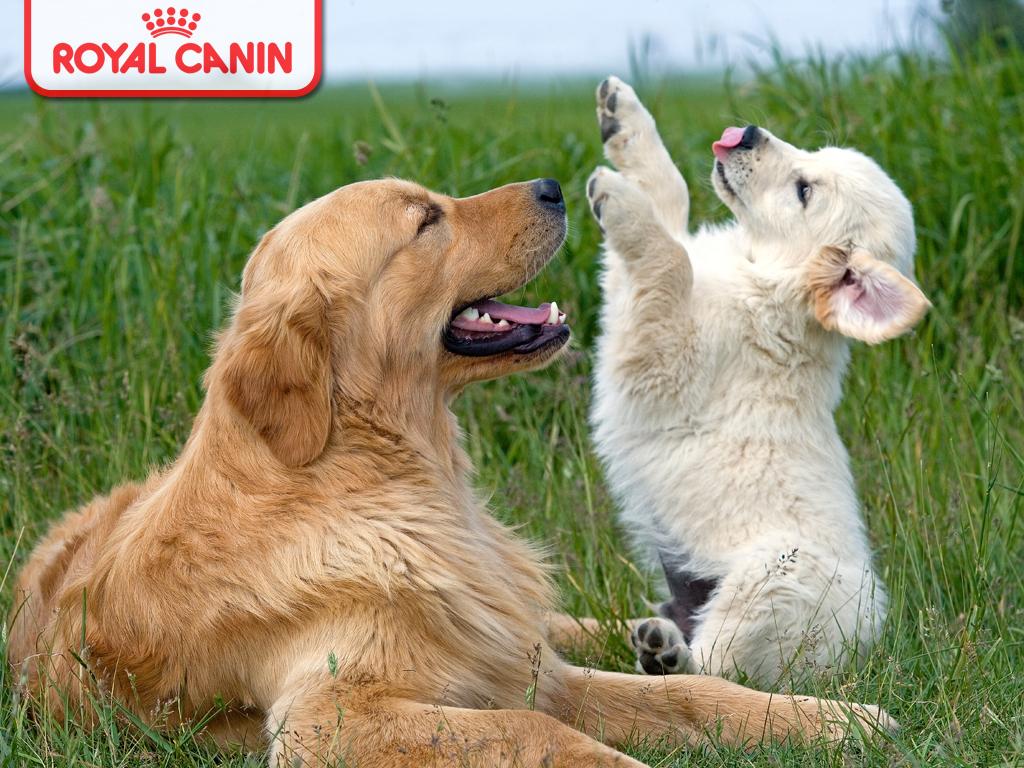 http://1.bp.blogspot.com/-1YOwGCPGzfU/Tg3yeZWuPnI/AAAAAAAAA-8/k7l_O70G9vU/s1600/puppy_wallpaper_royal_canin_1024.jpg