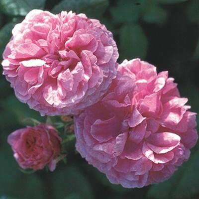 Piante e fiori rose botaniche for Rose piante