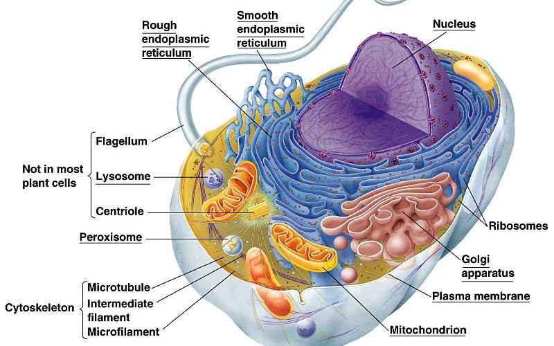 Yaitu sel hewan dan sel tumbuhan perbedaan diantara keduanya seperti