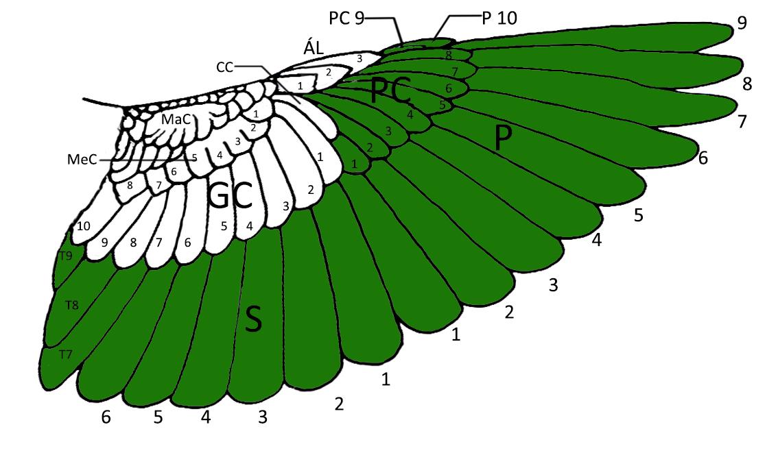 Secuencia de muda completa en paseriformes