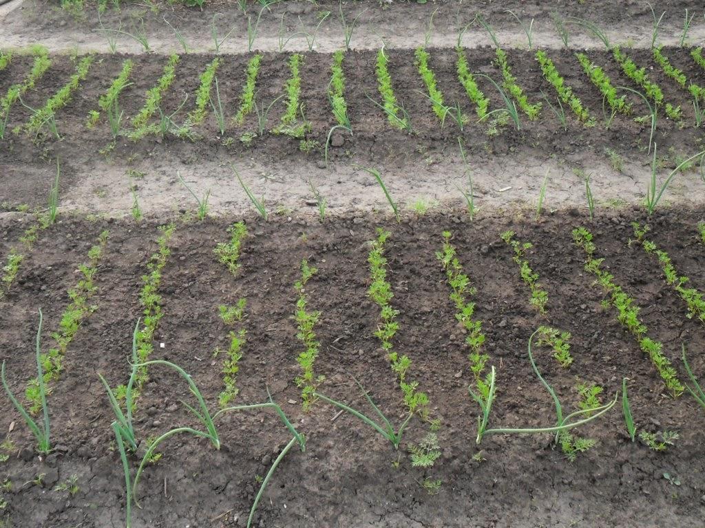 Ростки морковки после первого прореживания