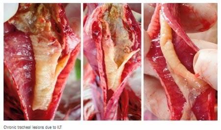 Sung huyết, xuất huyết khí quản, có màng nhày trong bệnh ILT.
