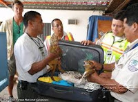 Actual Suitcase Checked as Tourist Attempted to Leave the Galapagos Tourist Was Arrested and Held for Attempted Smuggling of Iguanas