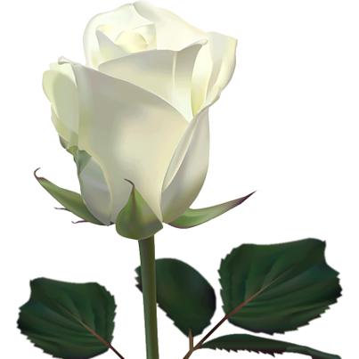 Reina de corazones el significado de las rosas - Significado rosas blancas ...