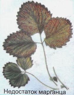 клубника - недостаток марганца