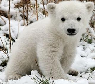 Oso polar cachorro