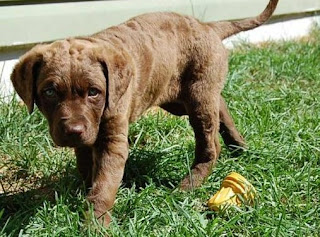 Chesapeake Bay Retriever Puppy Pictures