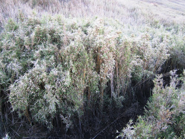 Mt Pulag dwarf bamboo, mt pulag plants, mt pulag summi trail, mt pulag map, mt pulat itinerary, climbing mt pulag