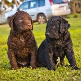 Curly Coated Retriever Puppies 2