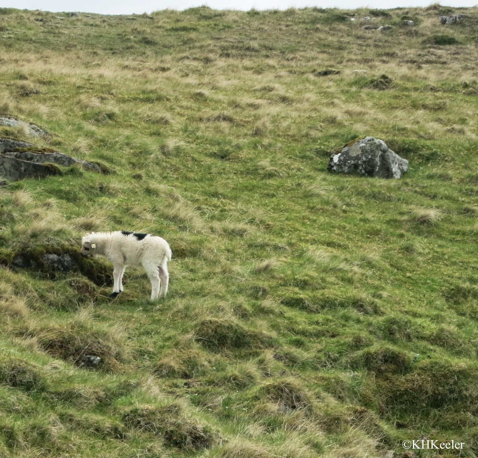 sheep on the hillside, Faroe Islands