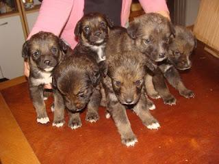 Βρέθηκαν στον Συνοικισμό Κορίνθου 6 κουταβάκια (5 αρσενικά, 1 θηλυκό), ενός μηνός περίπου. Δίνονται για υιοθεσία