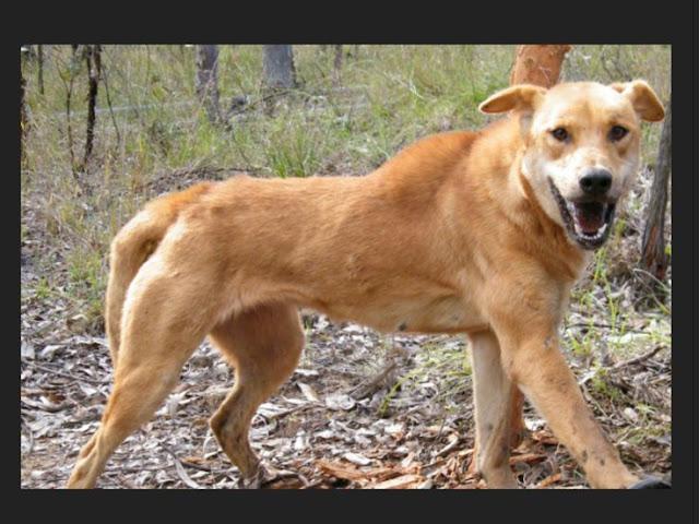 Dingo  Australien  Urlaub in Australien