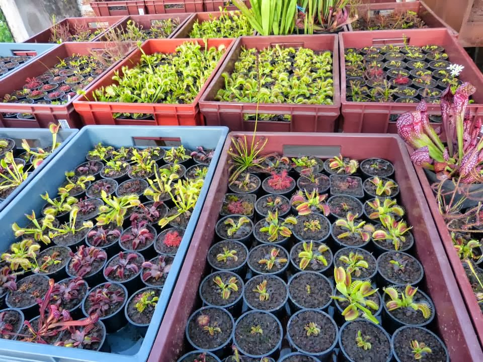 Blog plantas carn voras donde puedo adquirir una planta for Donde venden plantas