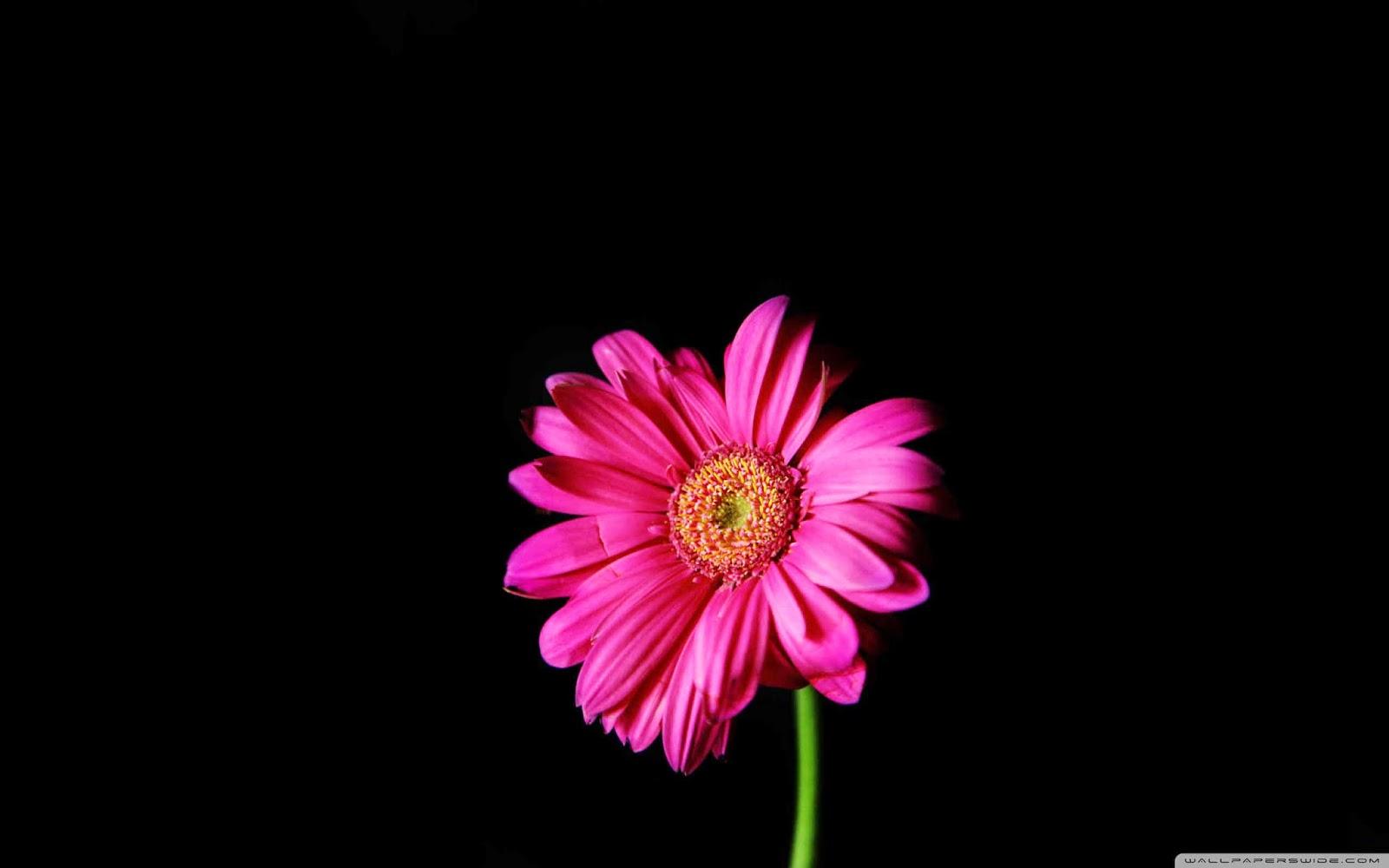hot pink gerber daisy wallpaper